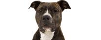 Raza de American Staffordshire Terrier considerada peligrosa