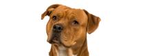 Raza de Bull Terrier considerada peligrosa