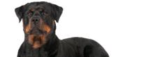 Raza de Rottweiler considerada peligrosa