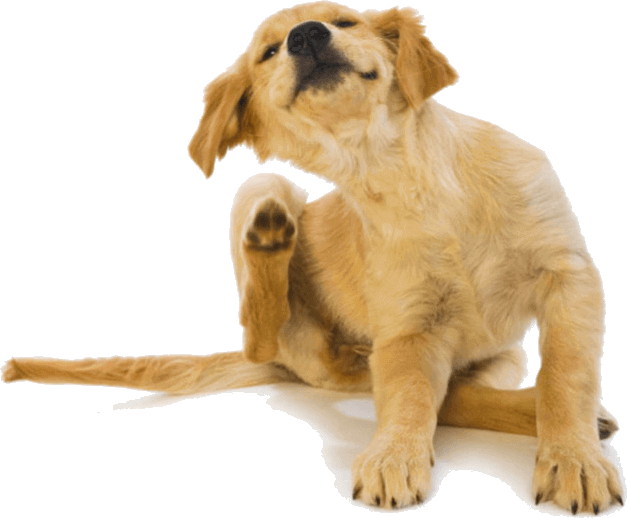 Cachorro golden retriever adoptado